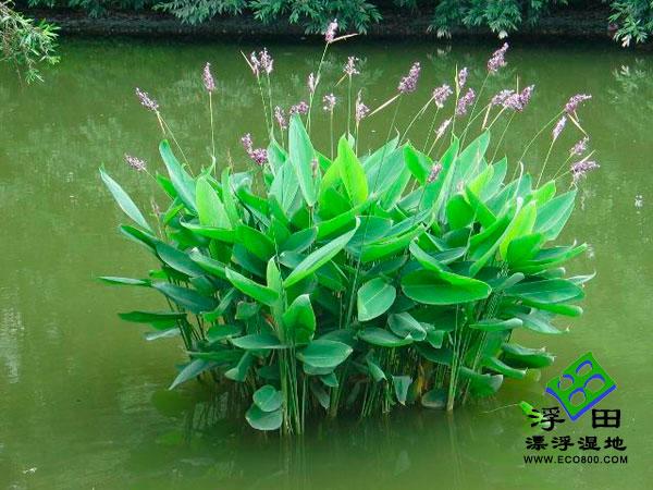再力花—挺水植物