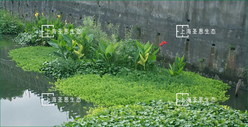 净化农村污水新方式:构建水生植物及浮动系统